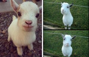 happy goat wall