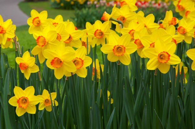 A nice image of daffodils to remind us of what Wordsworth saw so much beauty and potential in.