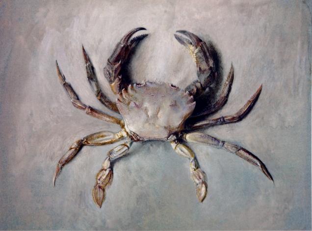 Velvet_Crab_Ruskin